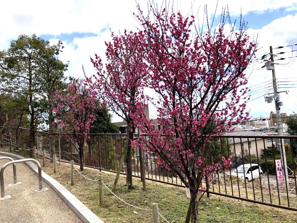 岡本梅林公園06